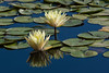 Water Lily<br /> <br /> In the middle of the pond and couldn't get as close as I wanted...