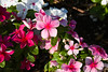 Periwinkle, Vinca, Pink<br /> <br /> Just a few names they are known by...