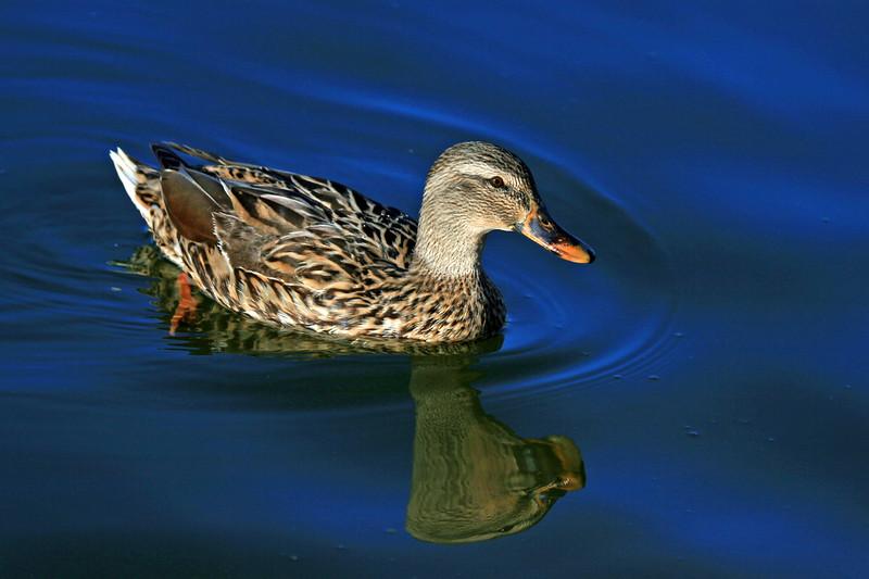 Duck - Mallard, Female