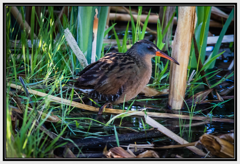 "Alphabet Challenge – ""V"" is for Virginia Rail"