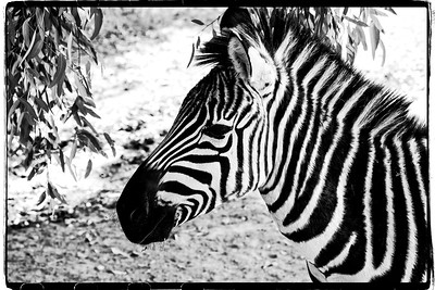 "Alphabet Challenge – ""Z"" is for the Zebra"