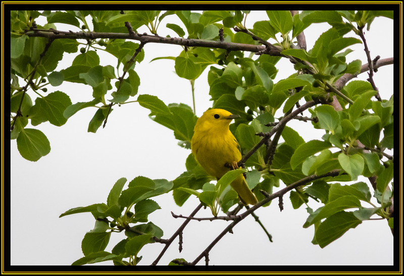 """Alphabet Challenge – """"Y"""" is for the Yellow Warbler"""
