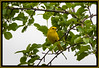 "Alphabet Challenge – ""Y"" is for the Yellow Warbler"