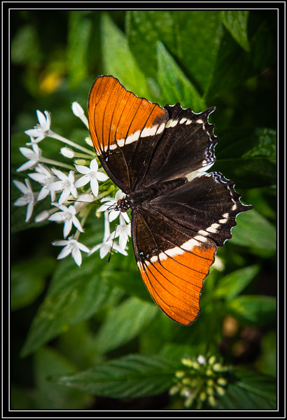 Butterfly - Rusty Tipped Page