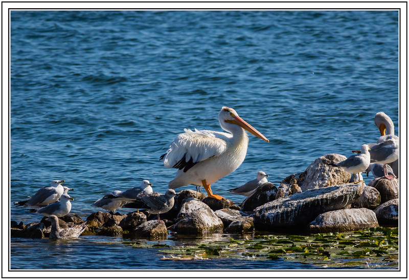 Seagulls and Pelican