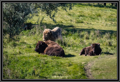 Buffalo, White & Brown