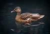 Mallard Duck, Female