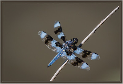Eight-Spotted Skimmer, [Libellula Forensis]