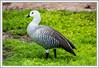 Magellan Goose - Male