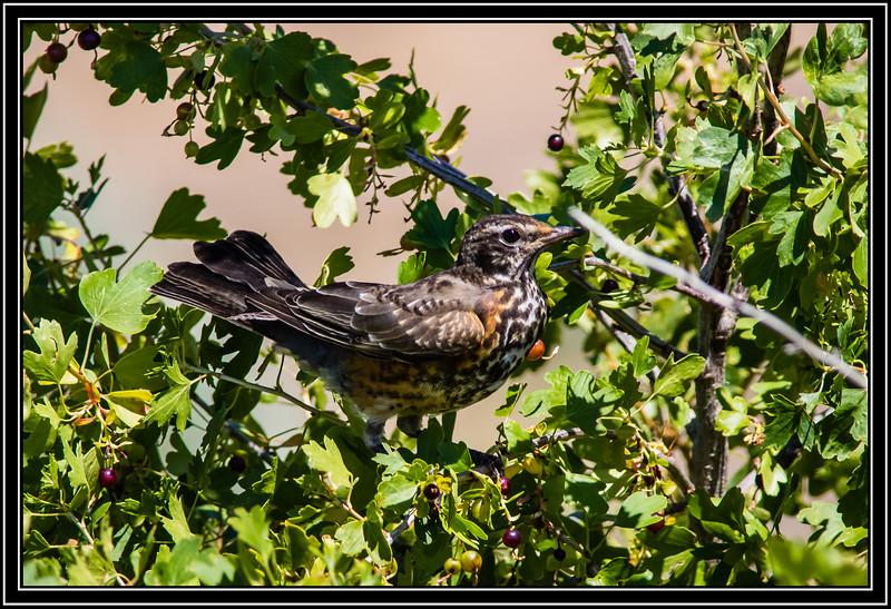 American Robin, Juvenile