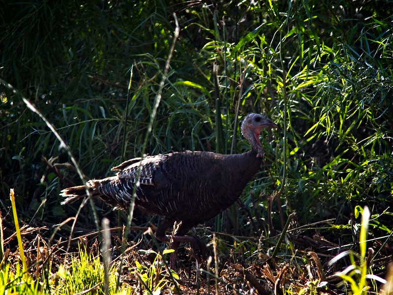 Turkey - Bird of Choice for Turkey-Day