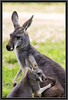 Kangaroo (Mama and Joey)