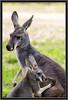 Kangaroo (Mama and Joey)