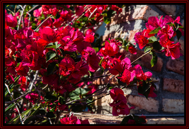 Roses are Red and Bougainvillea is too...