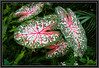 Heart shaped fancy leaved Caladium