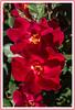 Rose - Cultivar