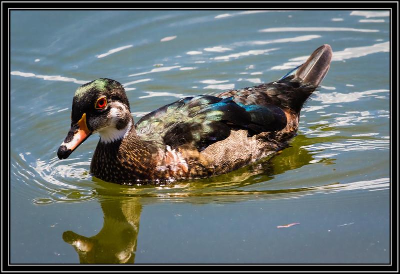 Wood Duck, Male - Non-Breeding Plumage