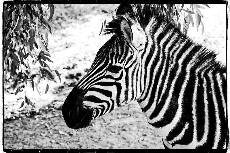 "Alphabet Challenge – ""Z"" is for the Zebra"