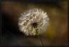Dandelion going to Seed