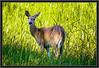 Deer, Female