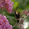 08-19-2009<br /> <br /> Another Bee for ME!  I am corrected... it is a clear winged hummingbird moth!<br /> <br /> I have never seen a bee like this before... it's like a morphed version of a bee and a hornet/wasp.  I really need to get a book on bugs and flowers!  I am clueless.<br /> <br /> Have a great day...im stuck in the studio today :(<br /> <br /> Jilly