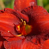 08-15-2009<br /> <br /> Still playin with the new lens... just out of the camera shot.<br /> <br /> Im not good with flowers... but i think this is a Scarlet Iris... JUST FOR YOU MARE! LOL!<br /> <br /> Have a great weekend everyone!  I'm going golfing again Sunday... hopefully no more broken windows!  Thank God for 100% Liability Ins! :)<br /> <br /> Peace, <br /> Jilly