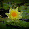 09-07-2009<br /> <br /> Yellow Water Lily<br /> <br /> This shot was from the Stan Hywet Garden shoot.  It was actually in an indoor aquatic pool for educational purposes...with other plant life and little creatures.  There was a lot of natural light the building was much like a greenhouse made of glass.<br /> <br /> Have a very relaxing Labor Day!<br /> Jilly