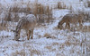 Donkeys in Custer State Park, South Dakota