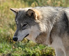 Wolf at Bear Country, South Dakota