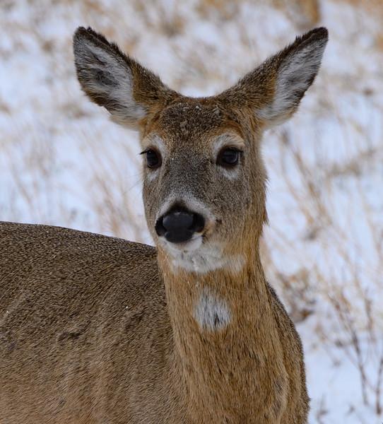 Deer in Custer State Park, South Dakota