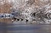 Canada geese at Canyon Lake, Rapid City, South Dakota