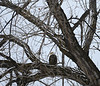 Bald Eagle in Rapid City, South Dakota