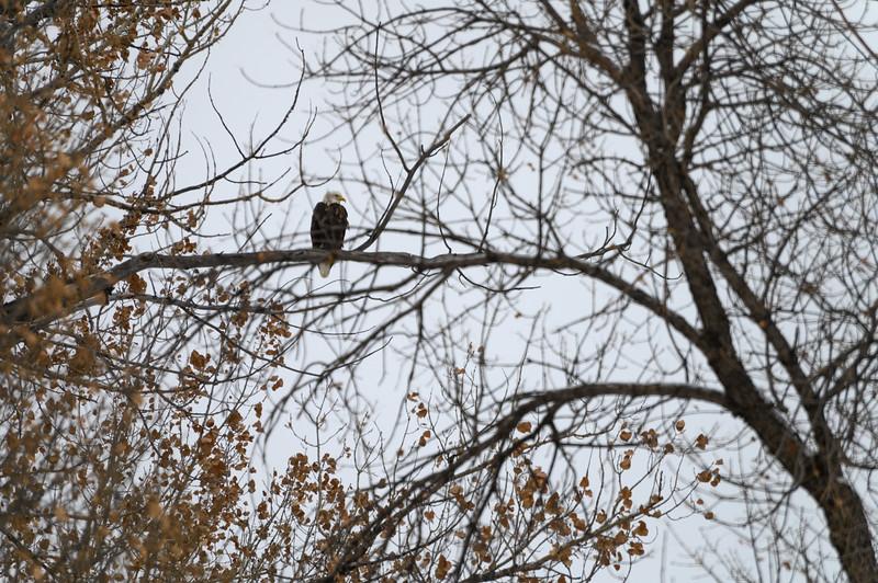 Bald Eagle in Rapid City, South Dakota