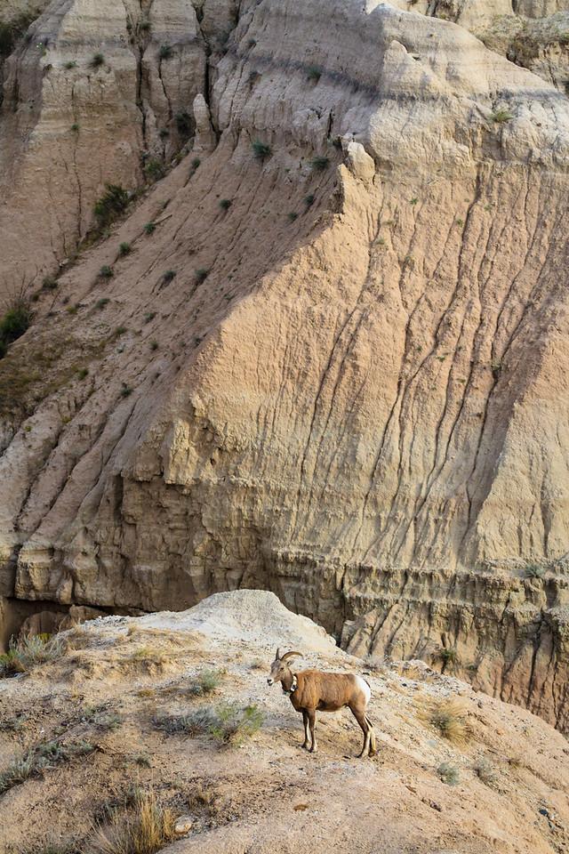 Big Horn Sheep in Badlands National Park