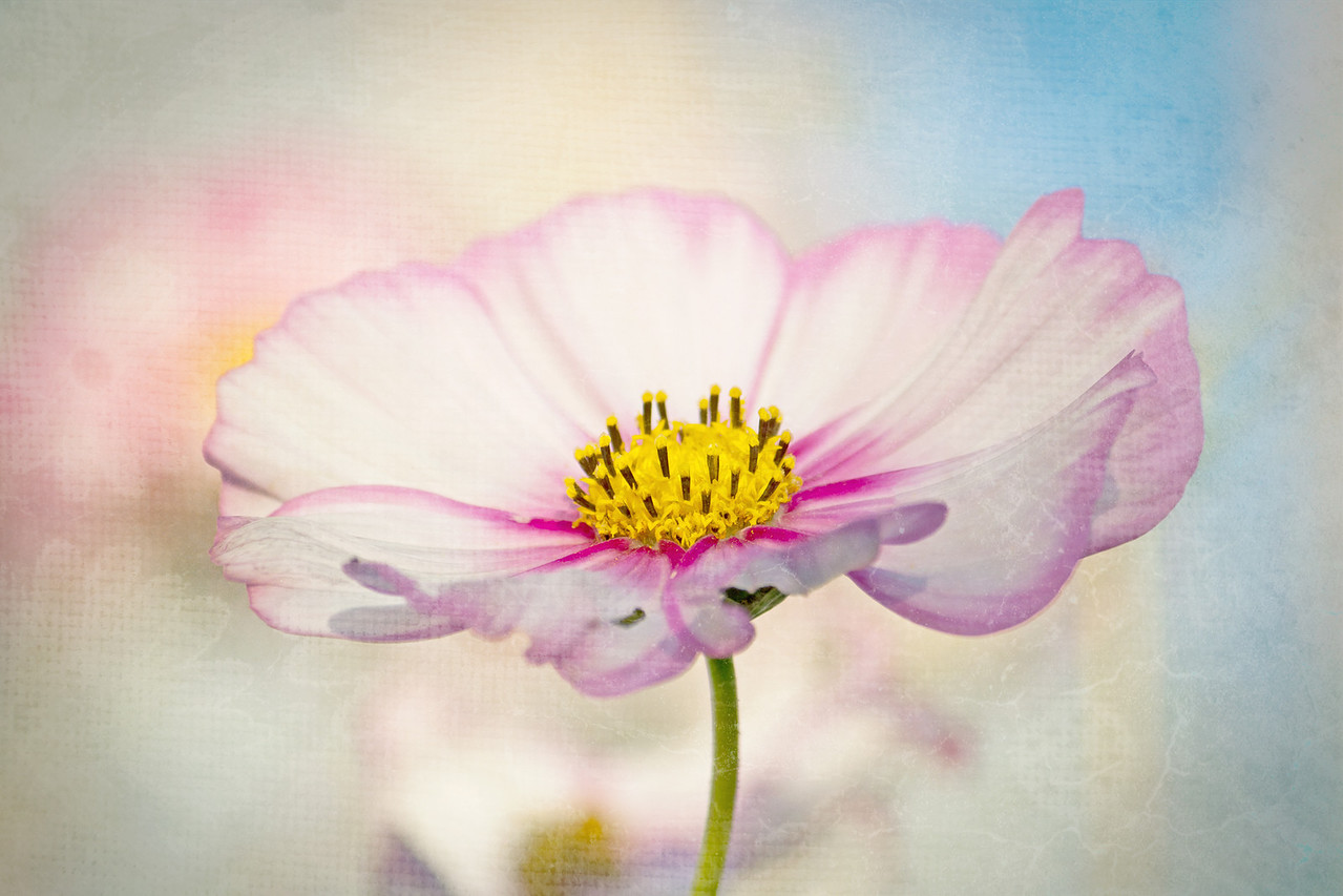 """Soft Cosmos<br /> <br /> Visit my Greeting Card store to purchase this print as a card<br />  <a href=""""http://www.greetingcarduniverse.com/dakotawindscards"""">http://www.greetingcarduniverse.com/dakotawindscards</a>"""