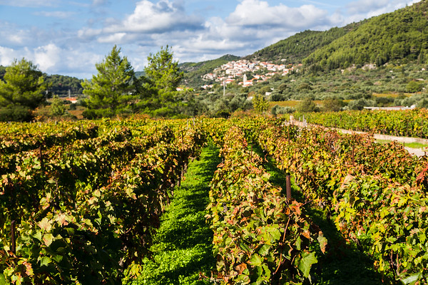 Posip grapes being grown in Cara