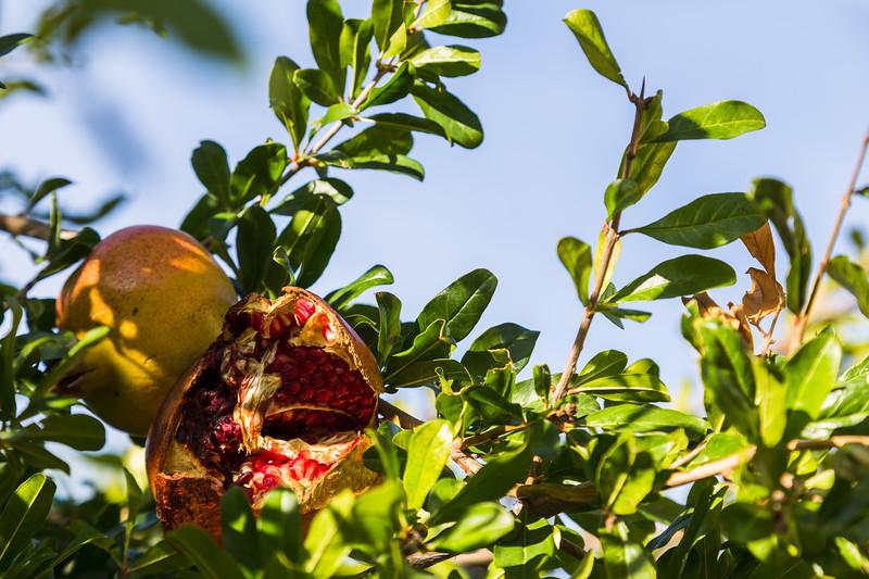 Fruit on a pomegranate tree
