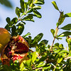 Fruit on a pomegranate tree