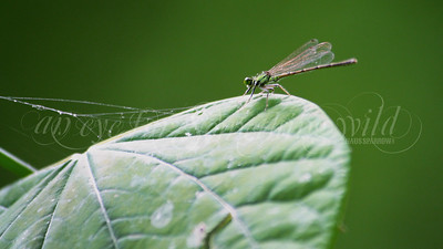 Fragile Forktail (Damselfly)