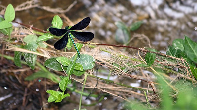 Ebony Jewelwing (Damselfly)