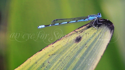 Familiar Bluet (Damselfly)