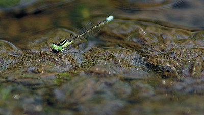 Eastern Forktail (Damselfly)