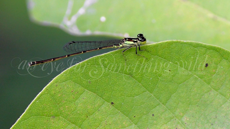 Lime Green Damselfly