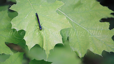 Variable Dancer (Damselfly)