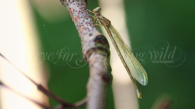 Blue-fronted Dancer (Damselfly)