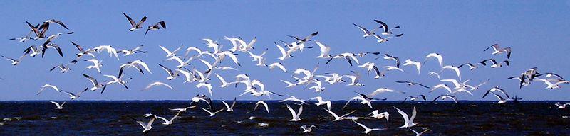 Flock of gulls in flight.