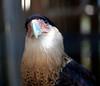 Crested Cara Cara<br /> Close up portrait