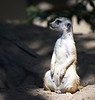meerkat at the San Diego Zoo