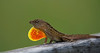 Male Brown Anole showing off
