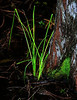 Swamp grass and black water